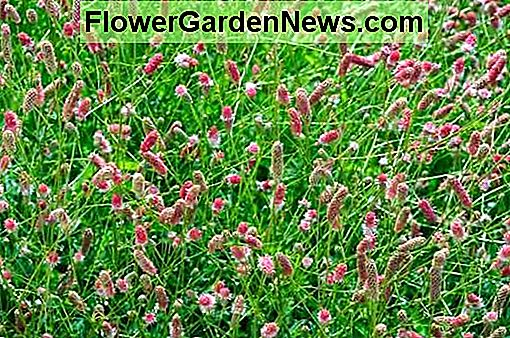 Sanguisorba officinalis 'Pink Tanna' (Great Burnet)