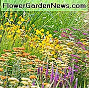 Perkebunan Mid-Atlantic, Mid-Atlantic states, Mid-Atlantic garden, Best Perennials, Mid-Atlantic Perennials, Great Perennials, Perennials for Mid-Atlantic, Perennials for gardens dry, Perennials for gardens hot