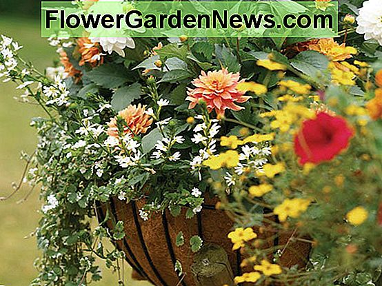 Dahlias cho container, Dahlias cho chậu, Dahlias Karma, Dahlias Happy Single, Dahlia Park Princess, Dahlia Melody Harmony, Karma Dahlias, Happy single Dahlias, Dahlia Sunshine