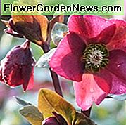 Helleborus 'Anna's Red', Hellebore 'Anna's Red', Lenten Rose 'Anna's Red', Rodney Davey Marbled Group, Red Hellebore, Single Hellebore