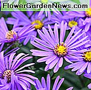 Aster Amellus 'King George', Aster Ý 'King George', Starwort Ý 'King George', Michaelmas Daisy 'King George', Fall Aster 'King George', Fall lâu năm, Fall hoa, Aster King Georges, Purple Purple,