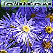 Aster x Frikartii 'Monch', Frikart's Aster, Michaelmas Daisy, Frikart 'Aster' Monch ', Michaelmas Daisy' Monch ', Fall lâu năm, Fall Fall, Purple Purple, blue blue
