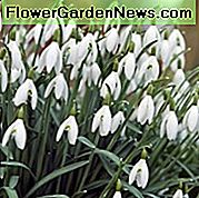 Galanthus, Galanthus Nivalis, Snowdrop, Common Snowdrop, Fair Maids of  			 <style> .adaptiv_netboard { width: 300px; height: 250px; } @media(min-width: 500px) { .adaptiv_netboard { width: 336px; height: 280px; } } @media(min-width: 800px) { .adaptiv_netboard { width: 580px; height: 400px; } } </style> 	<p align=