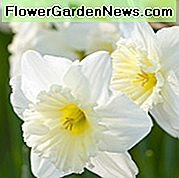 Narcissus Ice Follies, Daffodil 'Ice Follies', Large Cupaff Daffodil 'Ice Follies', Large Cupaff Daffodils, Spring Cup, Spring Spring, Narcisse Ice Follies, Large cupcaffil, Narcisse grande