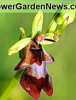 Ophrys insectifera - a légy orchidea.