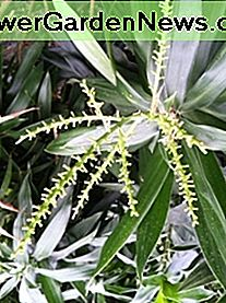 Prendersi cura di Dracaena Reflexa: Song of India, Jamaica e Pleomele: song