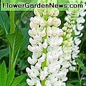 Lupinus 'Noble Maiden', Lupin 'Noble Maiden', Lupin 'Noble Maiden', Band of Noble Series, Ibridi Russel, Fiori bianchi, Fiori crema