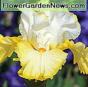 Iris 'Better Than Butter', Tall Bearded Iris 'Better Than Butter', Iris Germanica 'Better Than Butter', Iris di inizio stagione, Iris di mezza stagione, Iris di fine stagione, Iris gialle, Iris premiate, Iris bicolore