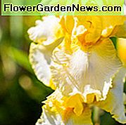 Iris 'Fringe of Gold', Tall Bearded Iris 'Fringe of Gold', Iris Germanica 'Fringe of Gold', Iris di fine stagione, Iris bianche, Iris gialle, Iris bicolore