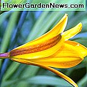Hemerocallis 'Golden Chimes', Daylily 'Golden Chimes', Day Lily 'Golden Chimes', 'Golden Chimes' Daylily, Early Midseason Daylily, Daylilies gialli, Yellow Daylily, Day Lily, Fiori gialli, Yellow Hemerocallis