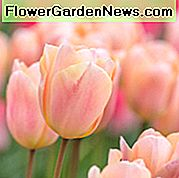 Tulip 'Apricot Beauty', Tulipa 'Apricot Beauty, Single Early Tulip' Apricot Beauty ', Single Early Tulip, Bulbi primaverili, Fiori primaverili, Tulipano albicocca