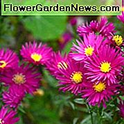 Aster Novae-Angliae 'September Ruby', New England Aster 'September Ruby', Michaelmas Daisy 'September Ruby', Symphyotrichum Novae-Angliae 'September Ruby', Aster 'September Ruby', New England Aster 'Septemberrubin', Michaelmas Daisy 'Septemberrubin