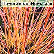 Cornus Sanguinea 'Midwinter Fire', Bloodtwig Dogwood 'Midwinter Fire', Dogwood europeo 'Midwinter Fire', Dogwood 'Midwinter Fire', Arbusti decidui, Fogliame, Colore autunnale, Colore invernale