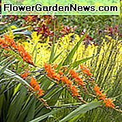 Crocosmia masoniorum, Coppertips, Padajuće zvijezde, AGM crocosmia, Giant Montbretia, Crocosmia Masonorum