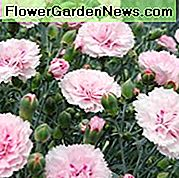 Dianthus 'Candy Floss', Pink 'Candy Floss', Candy Floss Pink, Cvjetovi lososa, Dianthus od lososa, Pink Flowers, Pink Dianthus, Pink Garden Pink