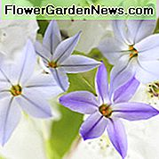 Ipheion, Ipheion uniflorum, Spring Starflower, Starflower, Springstar, fiori primaverili, fiori bianchi, fiori blu