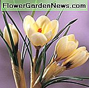 Crocus 'Cream Beauty', Crocus Chrysanthus Cream Beauty, Snow Crocus Cream Beauty, Snow Crocus, Crocus Botanico, Bulbi primaverili, Fiori primaverili, Bulbo primaverile