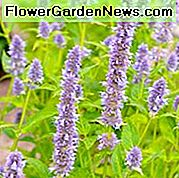 Agastache Blue Fortune, Anise Hyssop 'Blue Fortune', Giant Hyssop 'Blue Fortune', Agastache Aurantiaca 'Blue Fortune', plavi cvjetovi, cvjetovi ljubičice