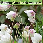 Anemone Sylvestris, Snowdrop Anemone, Snowdrop Windflower, Perenne per ombra, Ombra perenne, Fiori bianchi