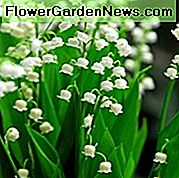 Convallaria Majalis, Lily of the Valley, Conval Lily, Word Lily, Mayflower, Mugget, Liriconfancy, May Bells, May Lily, Gospine suze, Gospine suze