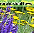 Agastache 'Blue Fortune' (Giant Hyssop): fortune