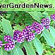 Callicarpa americana (American Beautyberry): beautyberry