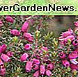 Calluna vulgaris 'Wickwar Flame' (Heather): Heather