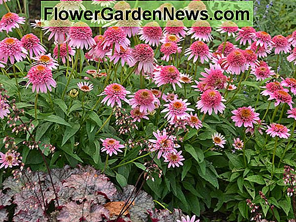 Echinacea purpurea 'Butterfly Kisses', Echinacea 'Butterfly Kisses', Coneflower 'Butterfly Kisses', CONE-FECTIONS Series, Pink conieflower, Pink coneflowers, Pink Echinacea