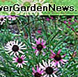 Echinacea purpurea 'Butterfly Kisses' (Coneflower): kisses