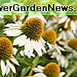 Echinacea purpurea 'Butterfly Kisses' (Coneflower): coneflower