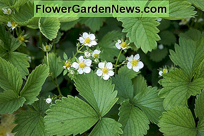 Fragaria Ozark Beauty, Fragola