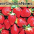 Fragaria 'Ozark Beauty' (Everbearing Strawberry): ozark
