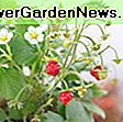 Fragaria 'Ozark Beauty' (Everbearing Strawberry): Fragaria