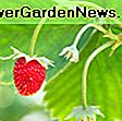 Fragaria 'Ozark Beauty' (Everbearing Strawberry): everbearing