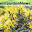 Hamamelis x intermedia 'Aphrodite' (Witch Hazel): intermedia
