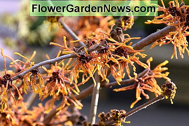Hamamelis x Intermedia 'Aphrodite', Witch Hazel 'Aphrodite', Chinese Witch Hazel 'Aphrodite', Fiori d'arancio, Orange Witch Hazel