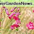 Penstemon 'Garnet' (Beardtongue): garnet