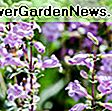 Penstemon 'Garnet' (Beardtongue): beardtongue
