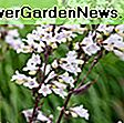 Penstemon 'Garnet' (Beardtongue): penstemon