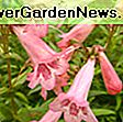 Penstemon 'Rich Ruby' (Beardtongue): rich