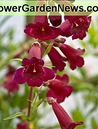 Penstemon 'Rich Ruby', Beardtongue 'Rich Ruby', Purple Penstemon, Evergreen Penstemon, Beard Tongue 'Rich Ruby'