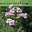 Penstemon x mexicali 'Pike's Peak Purple' (Beardtongue): mexicali