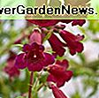 Penstemon x mexicali 'Pike's Peak Purple' (Beardtongue): purple