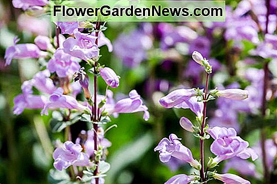 Penstemon x Mexicali 'Pike's Peak Purple', Beardtongue 'Pike's Peak Purple', Lingua della barba 'Pike's Peak Purple', 'Pike's Peak Purple' Hybrid Beardtongue, Purple Penstemon, Purple Beardtongue, Purple Beard Tongue