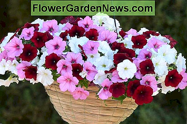Petunia 'Easy Wave Pink Passion', Easy Wave Pink Passion Petunia, Petunia finale, Petunia rosa, Fiori rosa