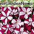 Petunia 'Easy Wave Pink Passion': Petunia