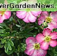 Potentilla fruticosa 'Happy Face Pink Paradise' (Shrubby Cinquefoil): happy