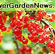Ribes rubrum 'Rovada' (ribes rosso): rubrum