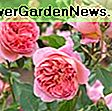Rosa 'Munstead Wood' (Bahasa Inggeris Rose): wood