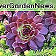 Sempervivum calcareum 'Greenii' (galline e pulcini): greenii